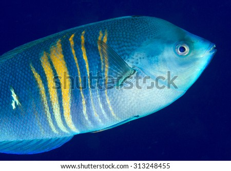 CLOSE-UP VIEW OF WRASSE FISH SWIMMING ON CORAL REEF CLEAR WATER