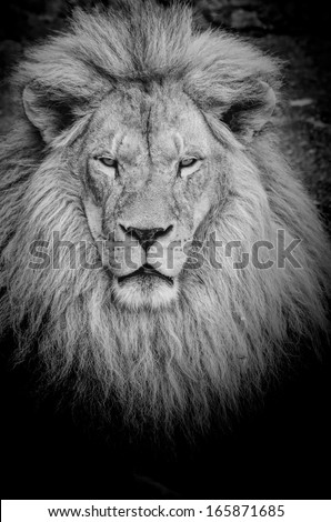 Close up view on dangerous old lion's portrait, black&white, with vignette - stock photo