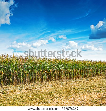 close up view on edge of corn field in harvest with beaty blue cloudy sky  - stock photo