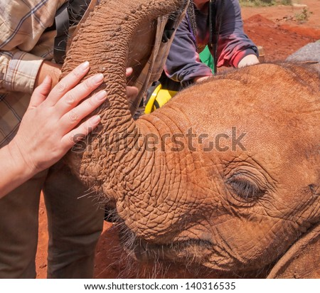 Close-up view on head of baby elephant with people hands flattering his trunk. Sheldrick Elephant Orphanage in Nairobi, Kenya.   - stock photo