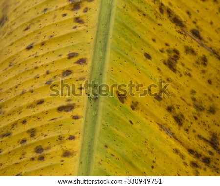 Close-up view stem of yellow ripe tropical banana leaf on tree. Natural leaf texture background in vertical orientation. - stock photo