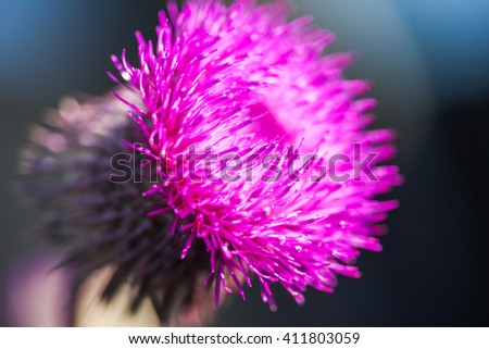 Close-up view to blooming burdock (Arctium lappa) on dark background.