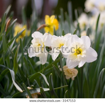 Close Up Views of White and Yellow Daffodils in Spring.
