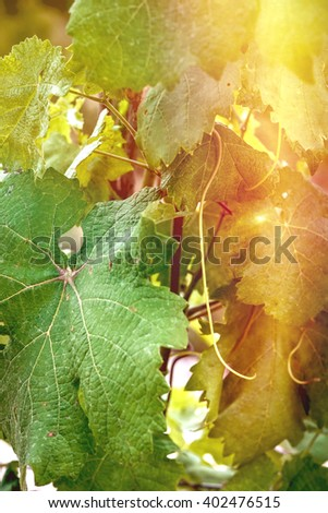 Close up vine leaves with the beautiful sun and light leaks. Vineyards.