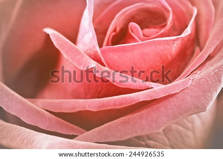 Close up vintage rose flower in soft style background