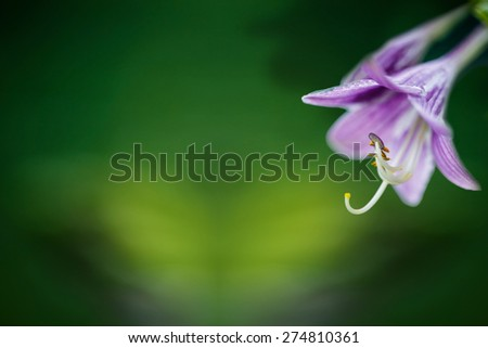 Close up violet flowers bells  on the green indistinct background - stock photo