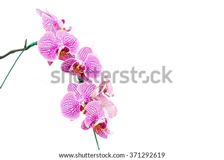 Close up violet orchid isolated on white background - stock photo