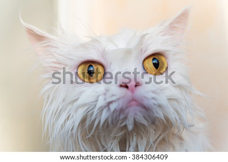 Close up wet persian cat eye. Wet cat. Ugly cat. Cat after take a shower. White cat. Persian cat. Cute cat. Angry cat.  - stock photo