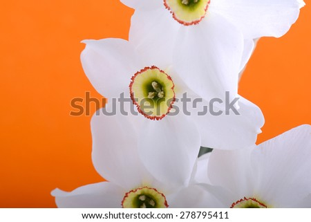 Close up white and orange daffodil on black - stock photo