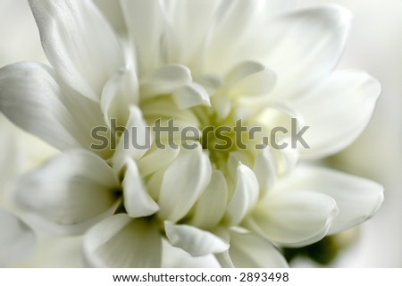Close up white chrysanthemums for background