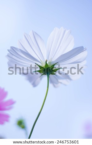 close up white cosmos flowers field in the park with blue sky soft feeling background - stock photo