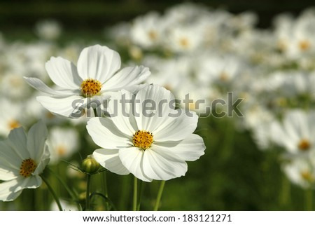 Close up white cosmos flowers in the garden - stock photo