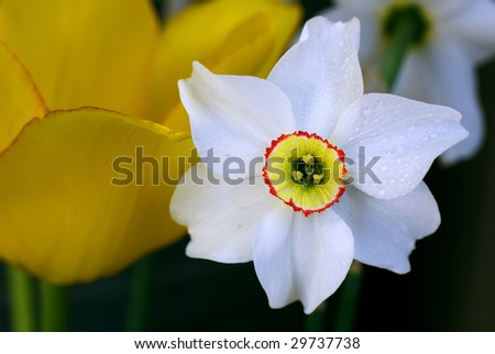 close up white daffodil and yellow tulip - stock photo