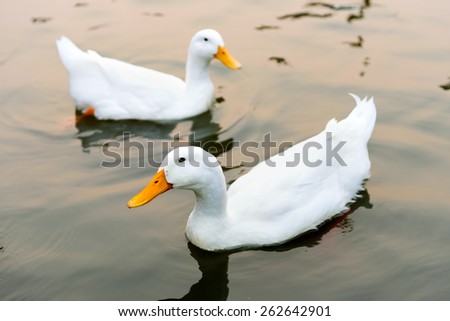 Close up white duck swimming in the lake - stock photo
