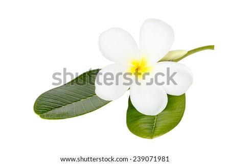 Close up white frangipani flower isolated on wite background - stock photo