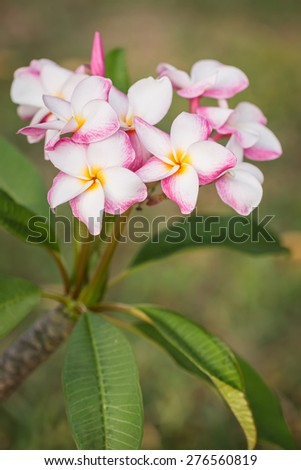 Close up white, pink and yellow plumeria frangipani flowers with leaves - stock photo