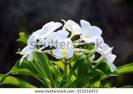close up white plumeria flower in nature garden - stock photo