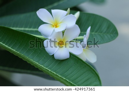 Close up White plumeria on the plumeria tree, frangipani tropical flowers. soft Focus