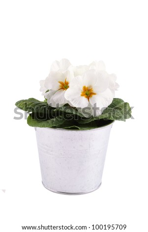 Close-up white Primrose potted plant. Isolated on white background