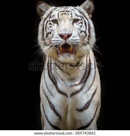 Close up white tiger - stock photo