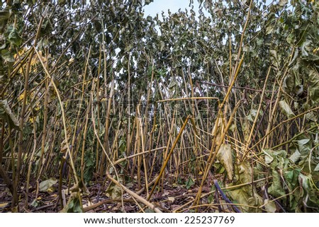 Close-up wideangle view among the dry stalks in autumn - stock photo