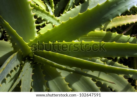Close-up wild Aloe Vera plant, New Zealand - stock photo