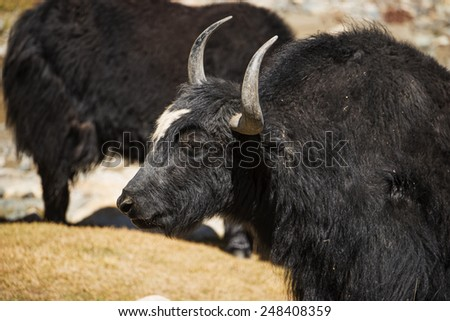 Close up wild yak in Himalaya mountains. India, Ladakh - September 2014 - stock photo