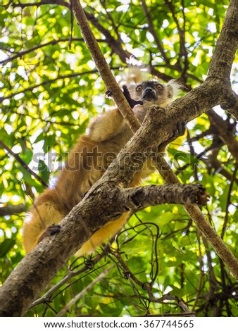 Close up wildlife portrait of lemur gaze on Lokobe Strict Nature Reserve in Nosy Be, Madagascar, Africa