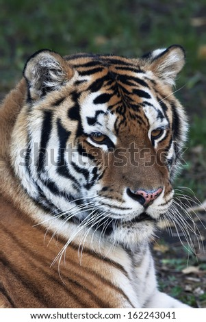 Close up with a beautiful Siberian tiger female. Face portrait of the lying biggest cat on green background. The most dangerous and mighty beast of the world. The very powerful and dodgy raptor.