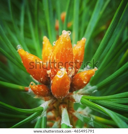 Close up with juniper cone blooming in summer