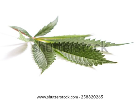 close up with selective focus of a marijuana leaf on a white background - stock photo