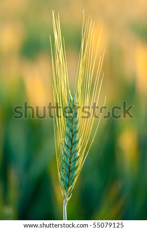Close up with wheat ears at sunset - stock photo
