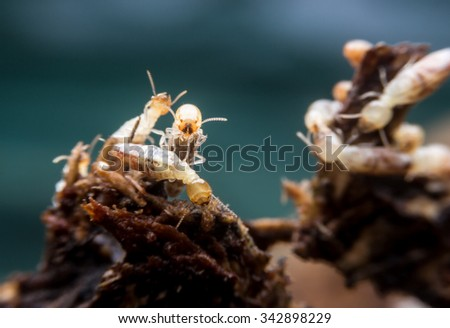 close-up worker and nasute termites on decomposing wood - stock photo
