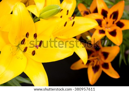 Close up yellow and mottled orange asian lily flowers on black background - stock photo