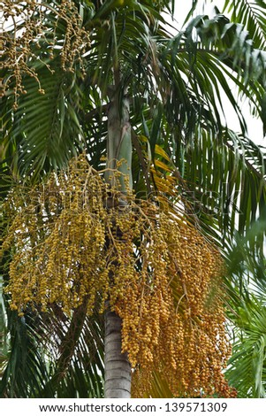 Close up yellow betel nut at palm tree