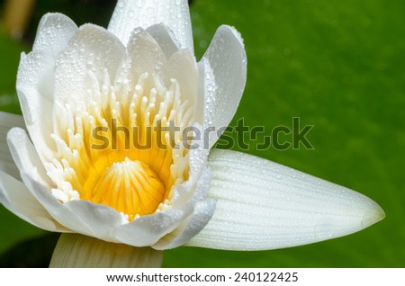 Close up yellow carpel and water drops on white petals of small lotus flower. - stock photo