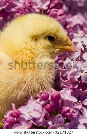 close-up yellow chick in lilac flowers