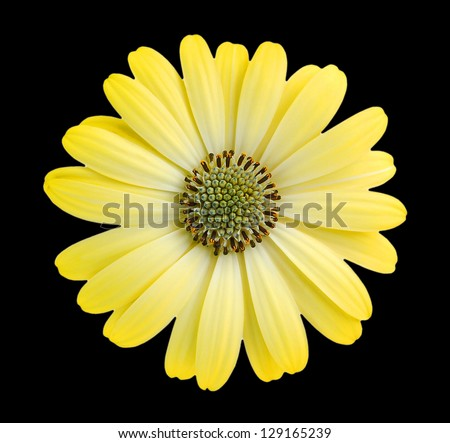 Close-up yellow daisy flower isolated on black background - stock photo