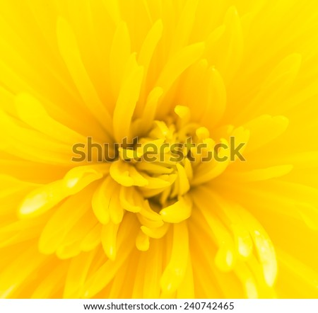 Close up Yellow flower isolated on white background