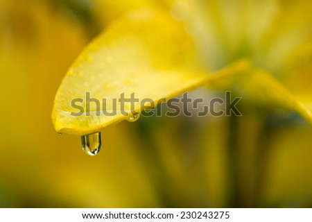 Close up yellow flower with water drop