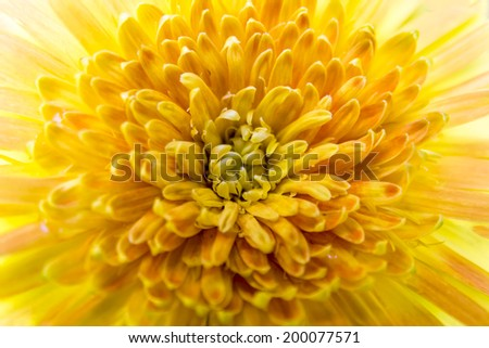 Close up yellow gerbera flower for background.