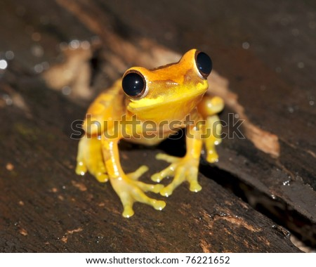 close up yellow hourglass tree frog on tree, selva verde, costa rica, central america, vibrant exotic amphibian in tropical jungle - stock photo
