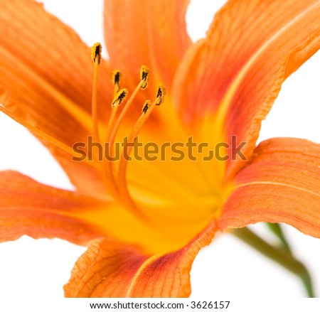close-up yellow lilly flower on white background