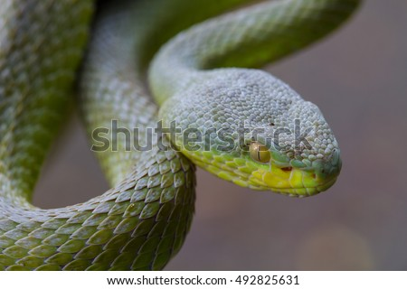 Close up Yellow-lipped Green Pit Viper snake (Trimeresurus trigonocephalus) in nature from Thailand