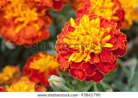 Close up yellow marigold in mome garden with nature vivid color. - stock photo