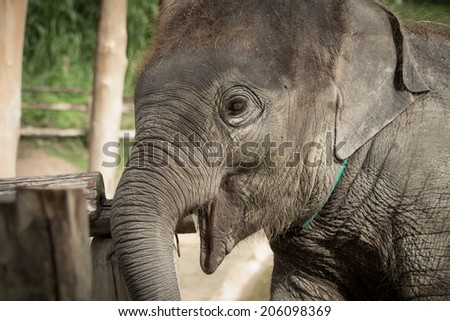 Close up young asian elephant head