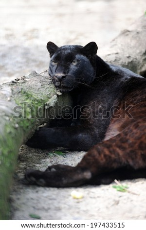 Close-up young black leopard in nature - stock photo