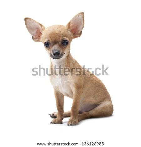close up, young dog portrait sitting   on white background - stock photo
