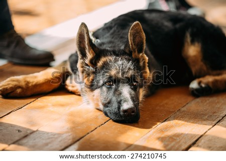 Close Up Young German Shepherd Dog Puppy Sitting On Wooden Floor - stock photo