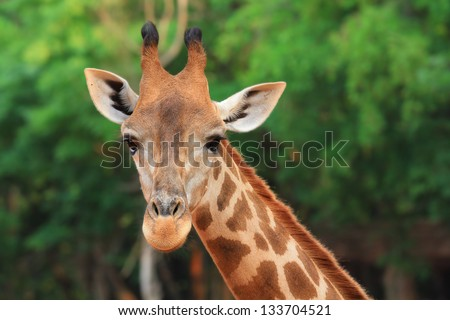 Close up Young giraffe